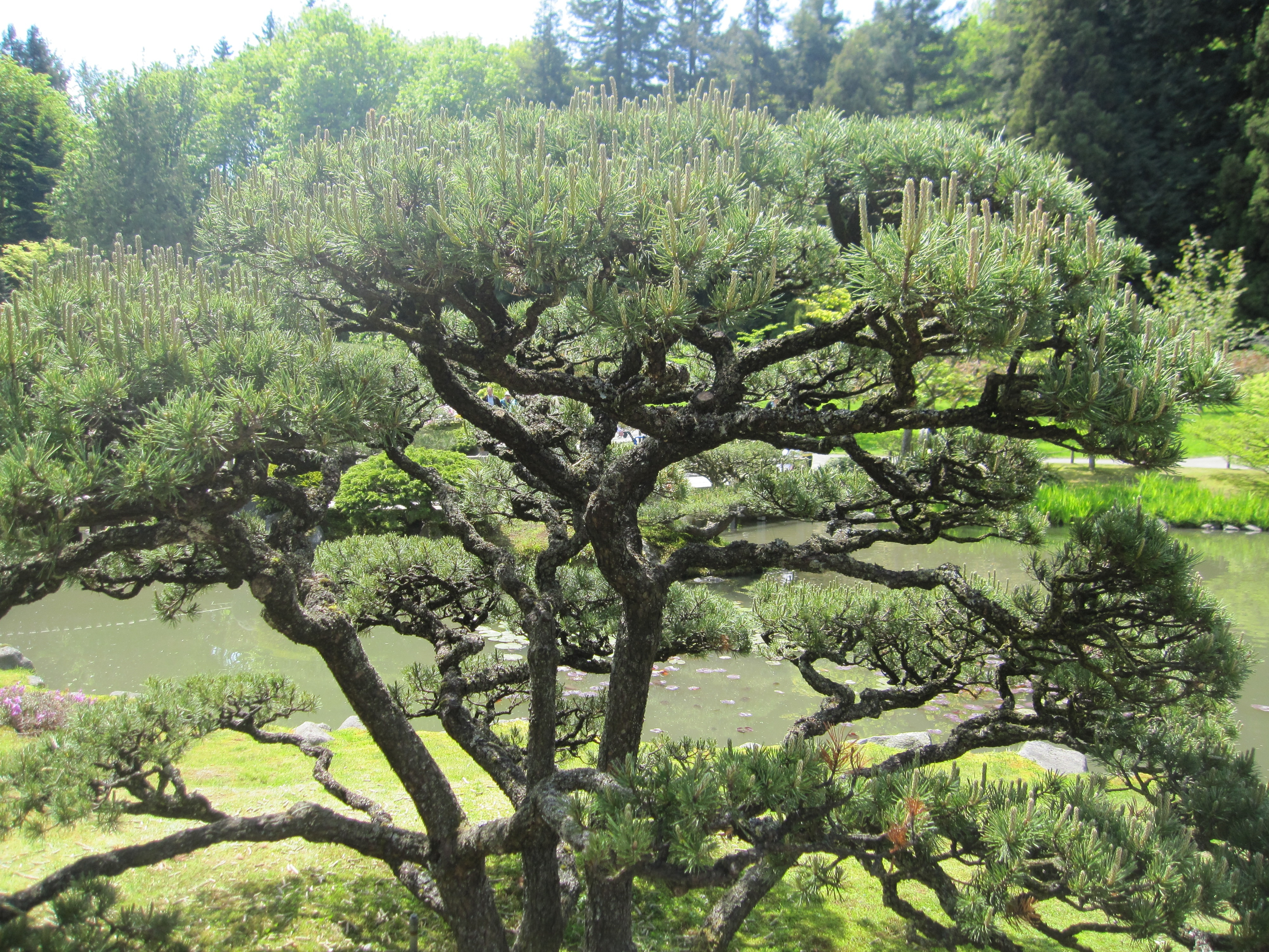 File japanese garden bonsai wikimedia commons for Small trees for japanese garden