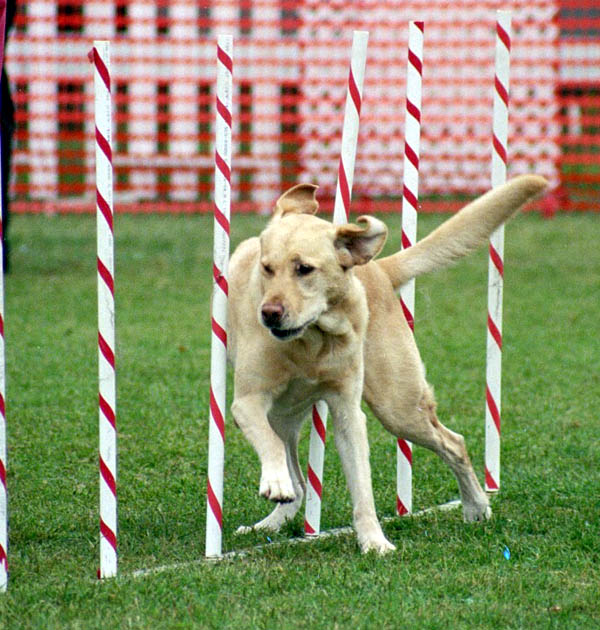 Agility Training For Dogs Aurora Ontario
