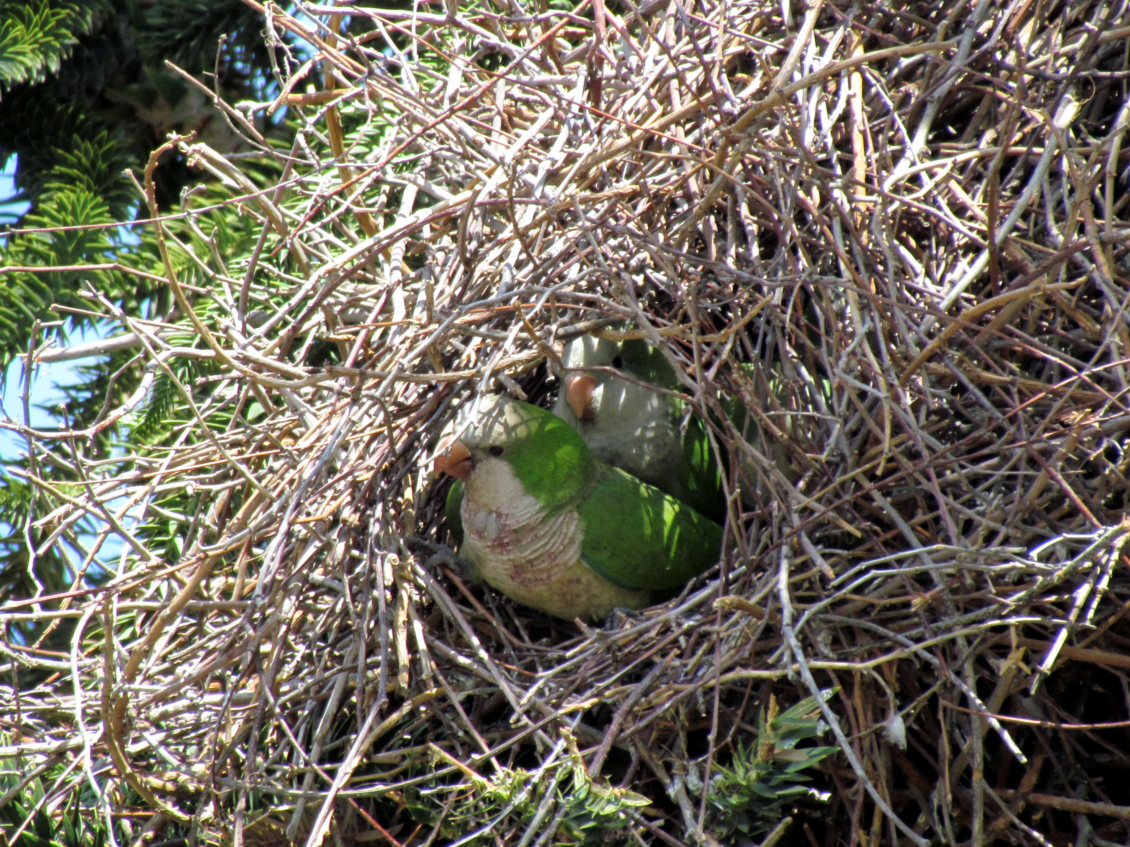 Image Result For Free Bird Nest