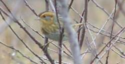 Nelsons sparrow  song  call  voice  sound