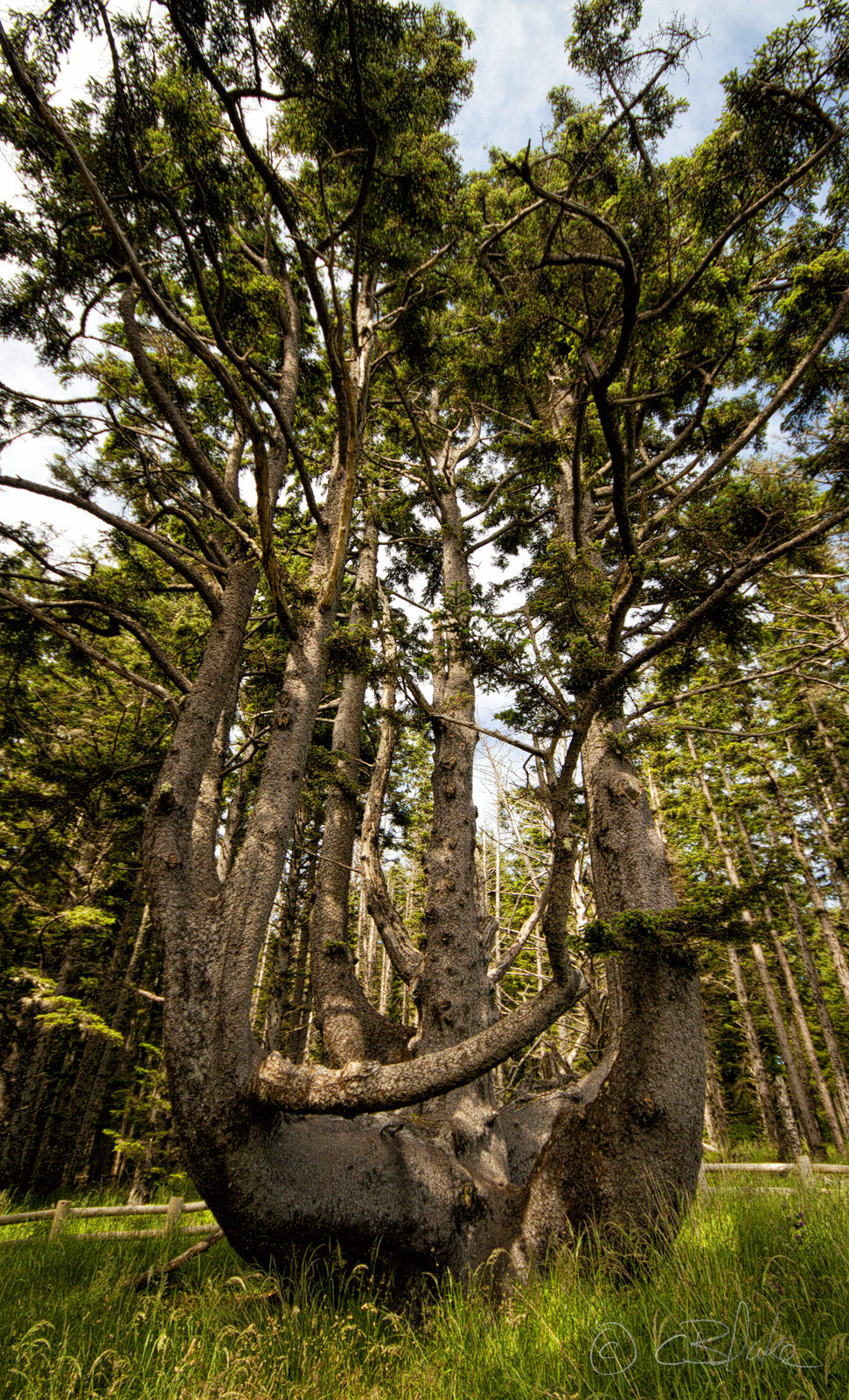 File Octopus Tree Cape Meares Oregon Png Wikimedia Commons