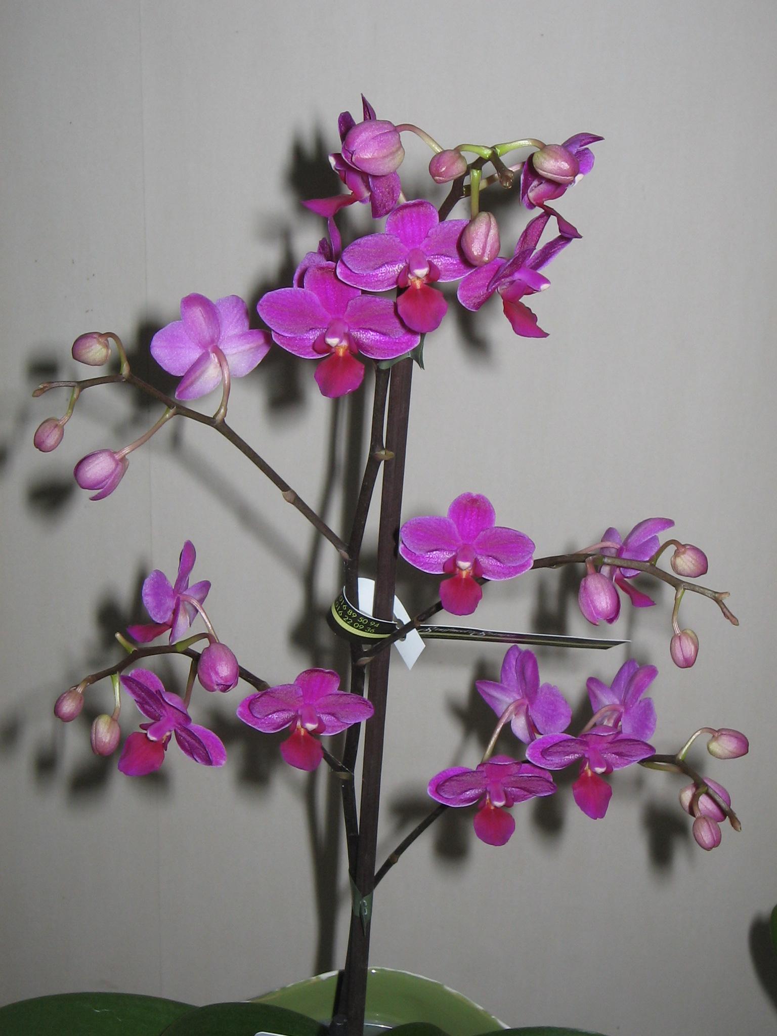 фаленопсис мультифлора