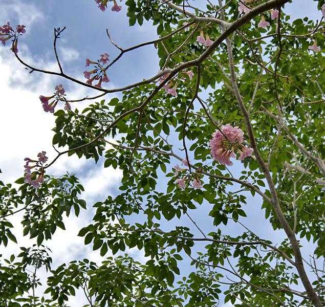 Filepink trumpet tree tabebuia impetiginosa flowering tree in filepink trumpet tree tabebuia impetiginosa flowering tree in hyderabad ap w mightylinksfo