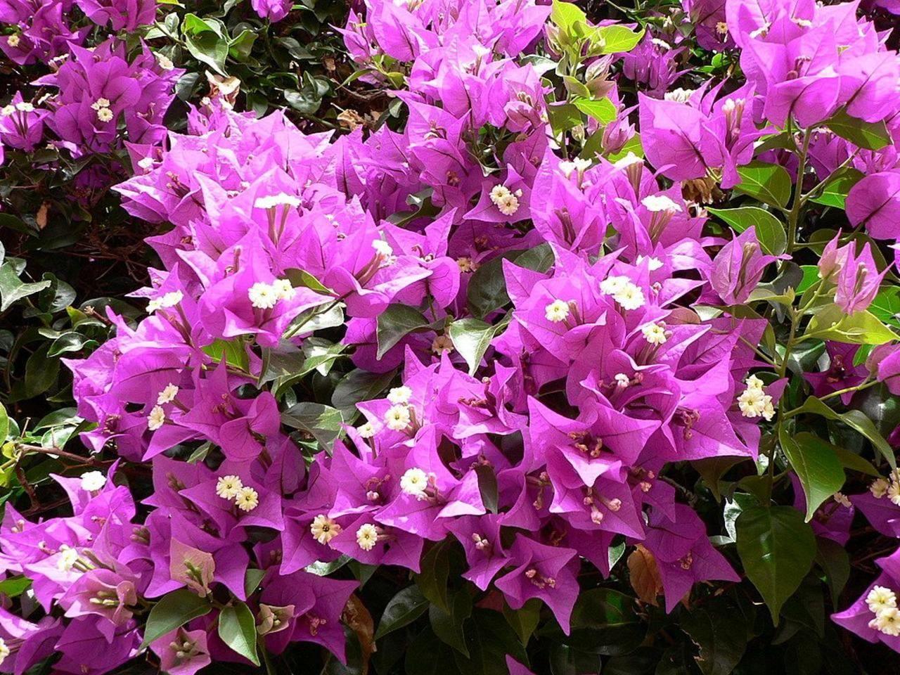 File Pink Flowers In Bush Jpg Wikimedia Commons