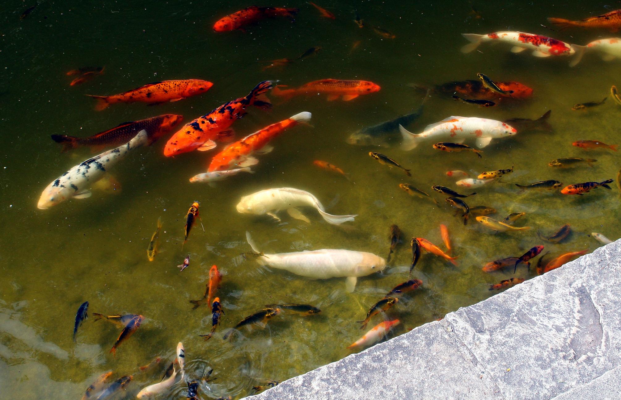 File wikimedia commons for Como hacer un estanque para peces koi