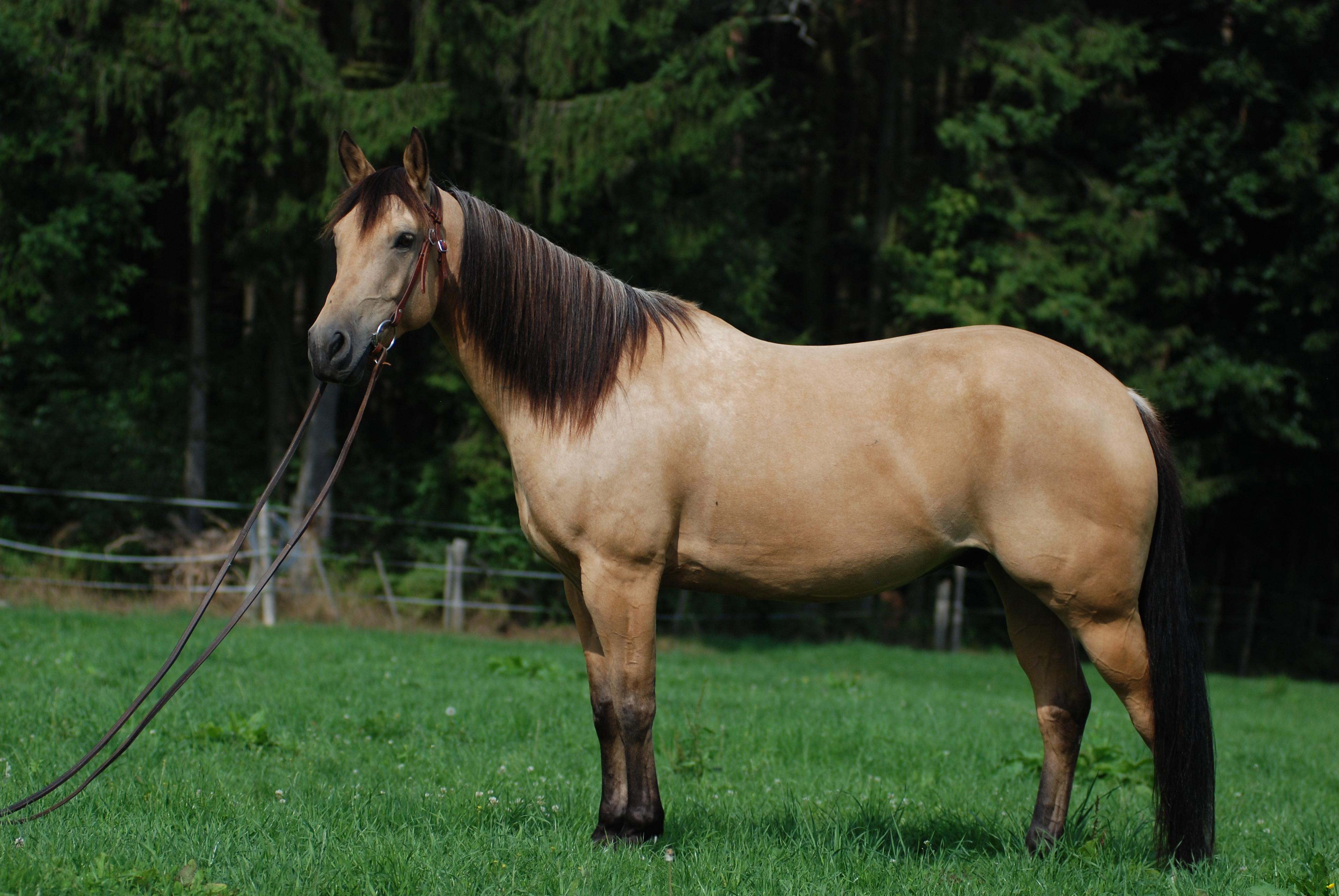 quarter horse buckskin -#main