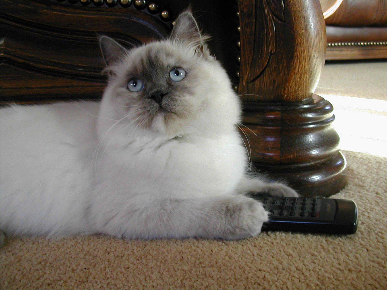 Male Rag Doll Cat For Breeding