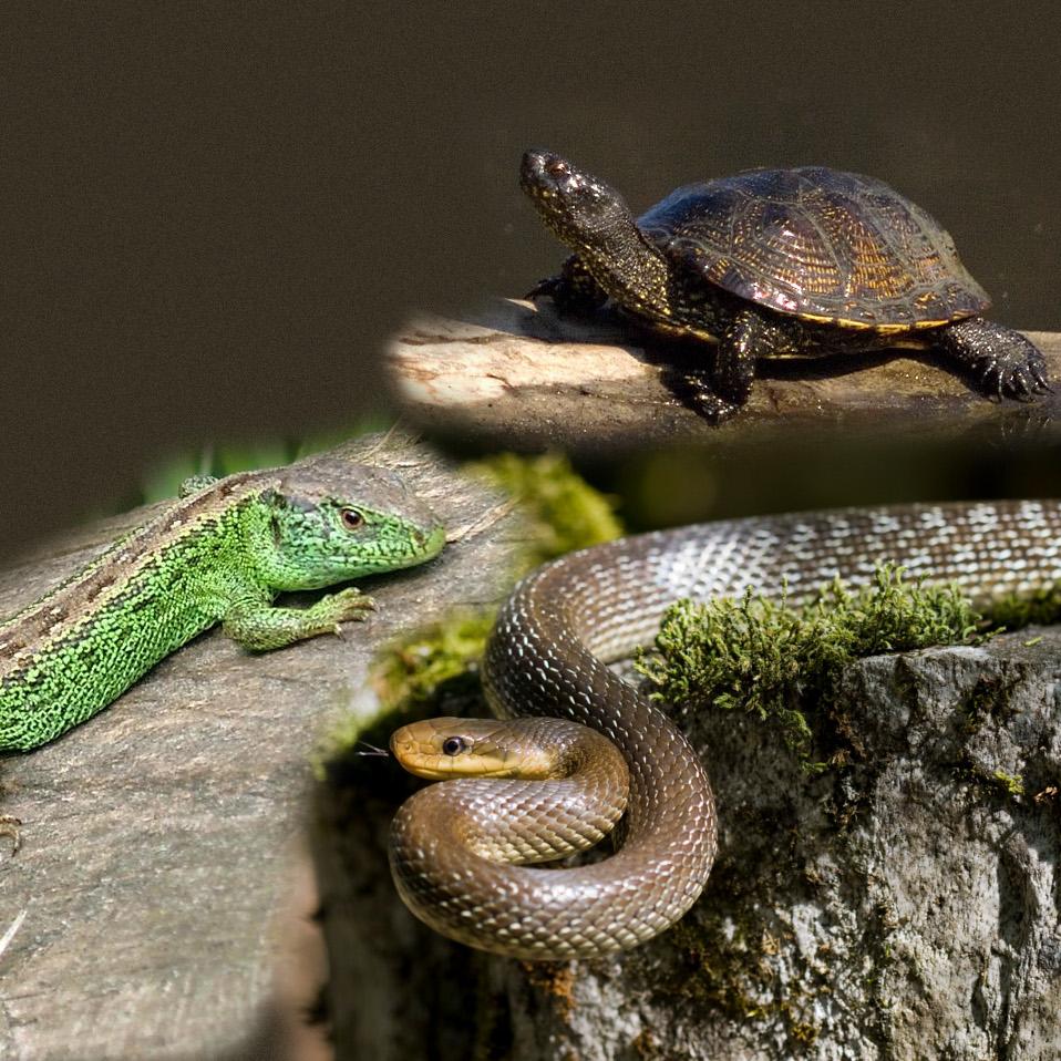 http://upload.wikimedia.org/wikipedia/commons/b/b7/Reptilia.jpg