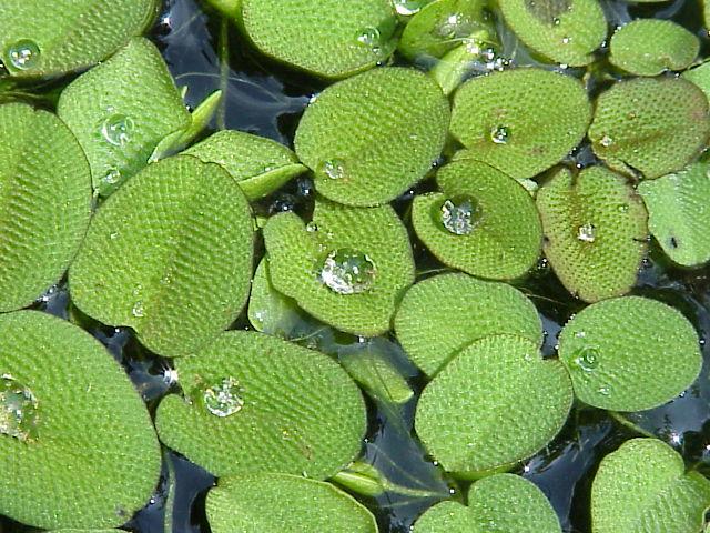 Salvinia minima 1 - Jenis Tumbuhan Yg Hidup Di Air
