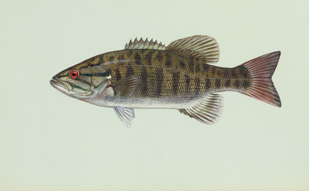 File smallmouth wikimedia commons for Smallmouth bass fishing