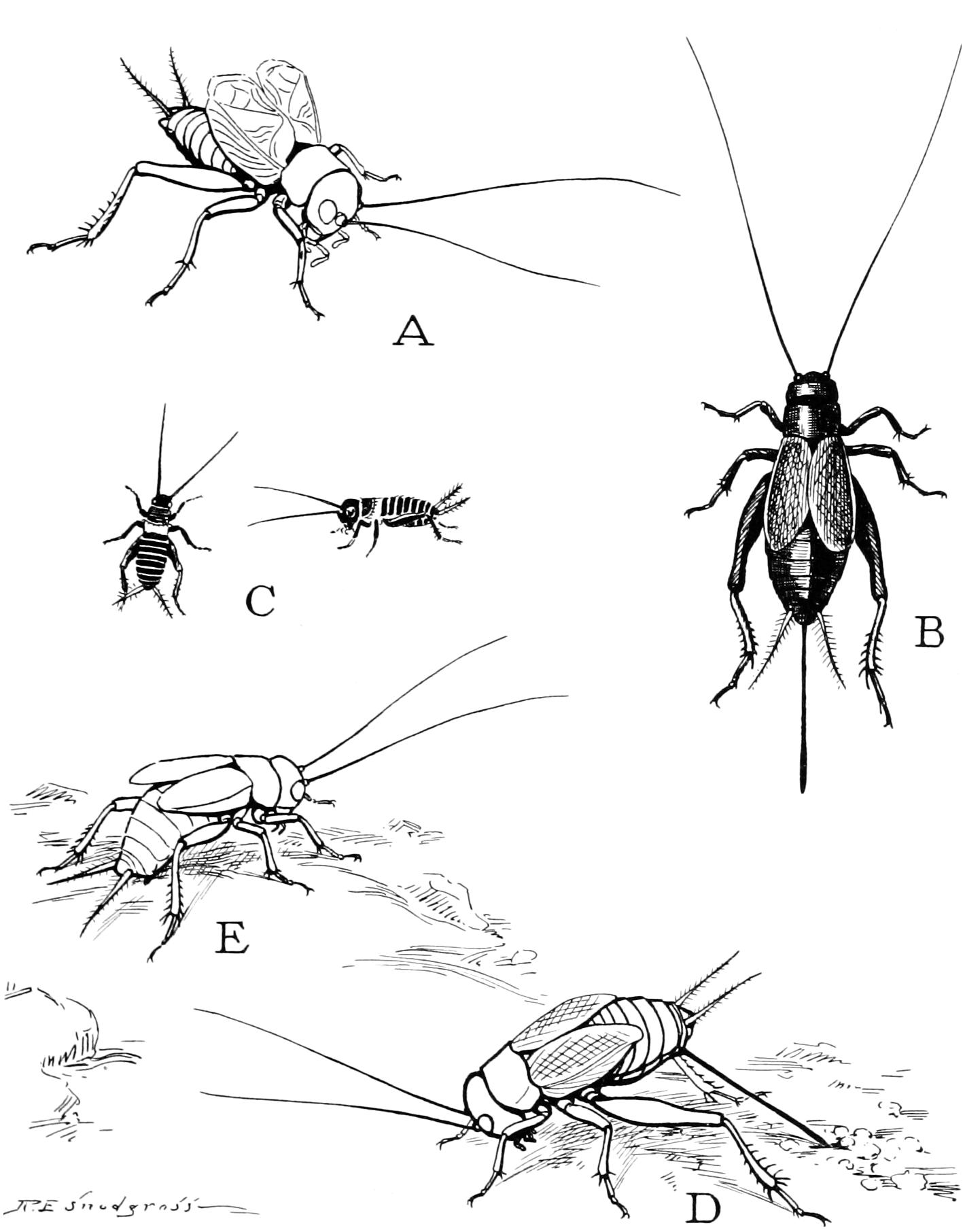 https://upload.wikimedia.org/wikipedia/commons/b/b7/Snodgrass_Gryllus_assimilis.png