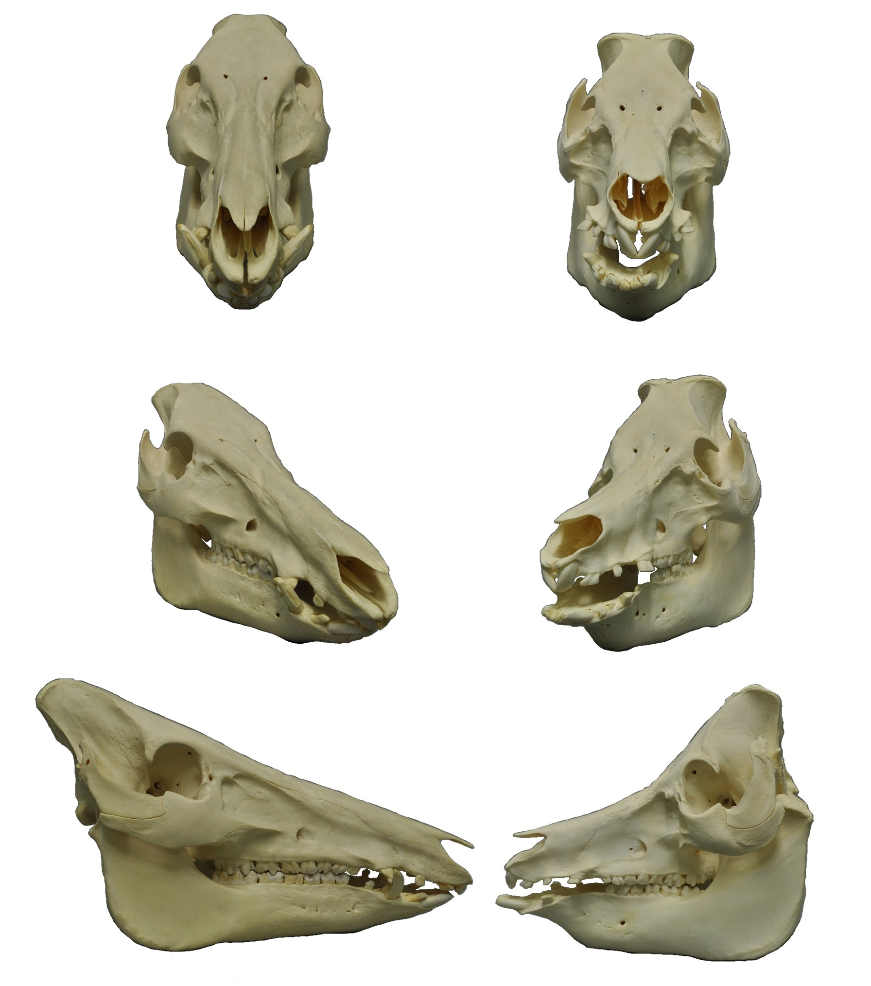 Wild Boar Left And Domestic Pig Right Skulls Note The Greatly Shortened Facial Region Of The Latter