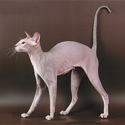 Tamila the lilac tabby Peterbald cat
