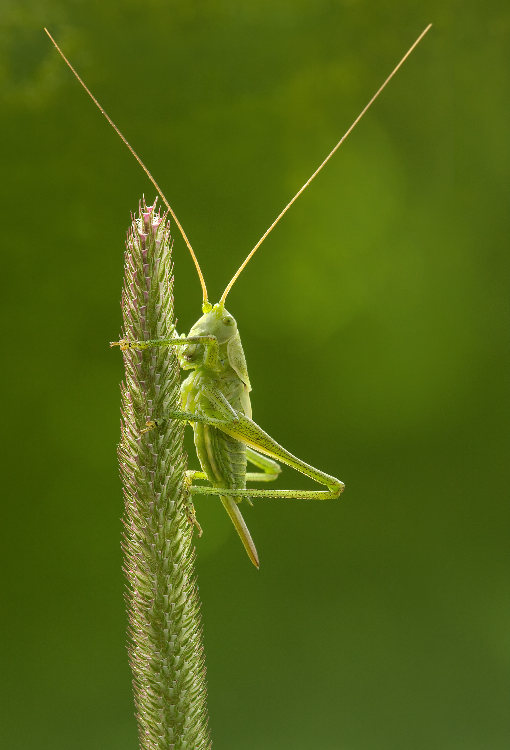 Tettigonia_virdissima_nymph_on_Phleum_pr