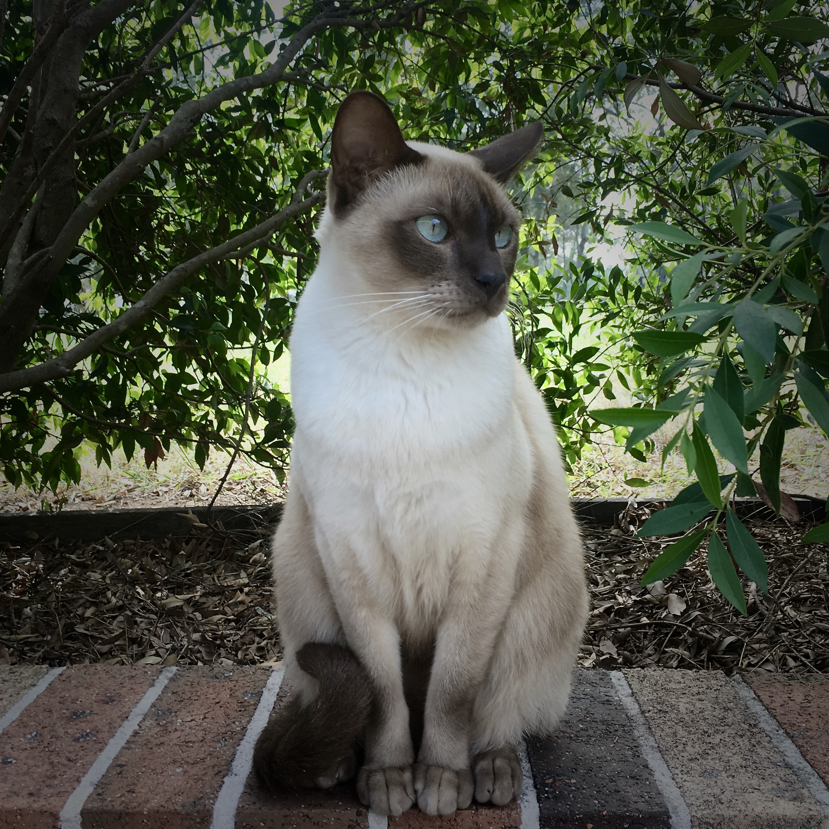 Tonkinese cat - Wikipedia