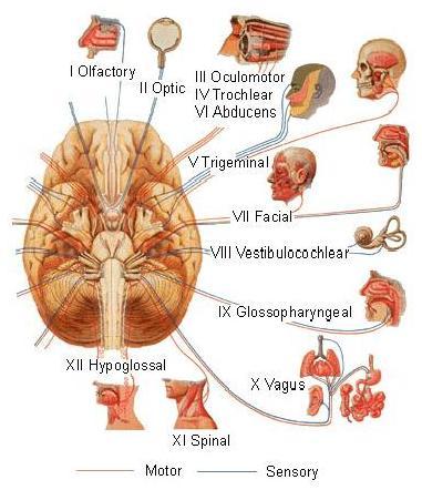 Saraf cranialis pdf to excel