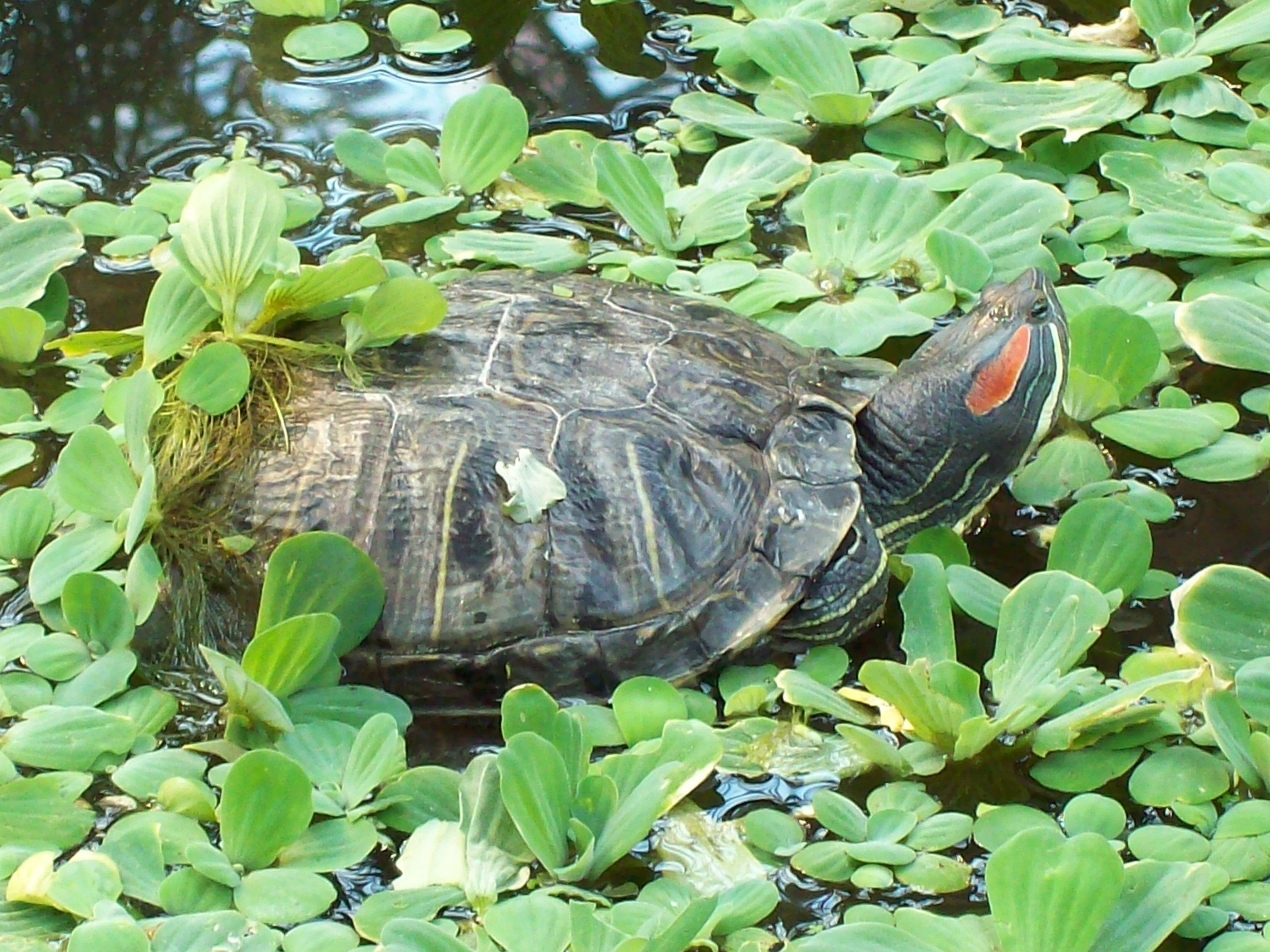 File turtles in atocha garden madrid wikimedia for Pond friendly plants