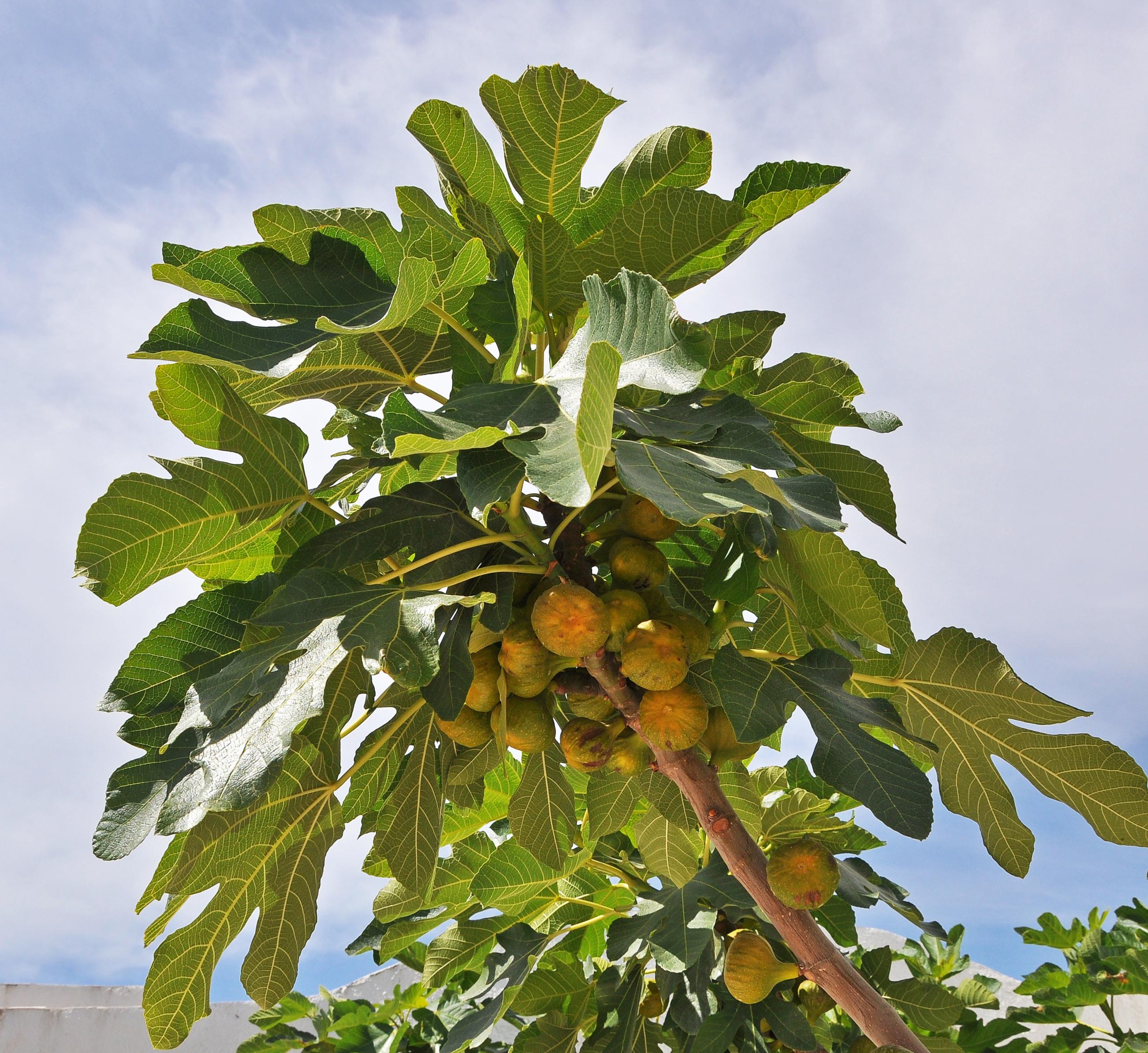 Однодомное дерево с серой корой и широкой раскидистой кроной. .  Листья очередные...