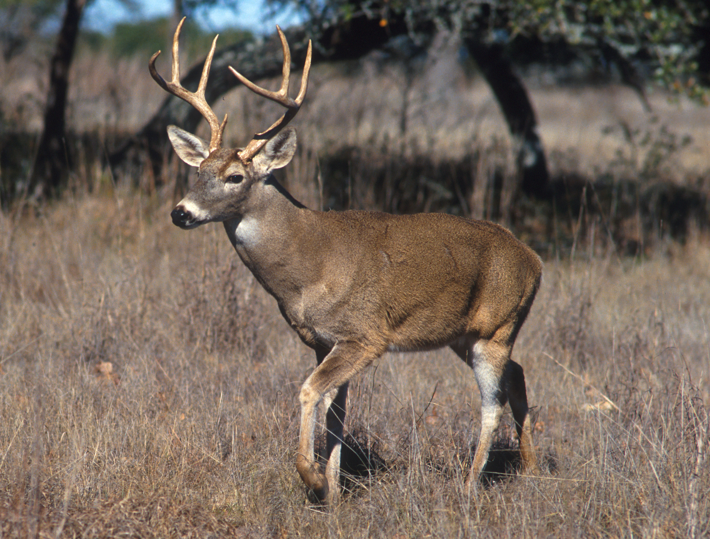 Adult white tailed deer