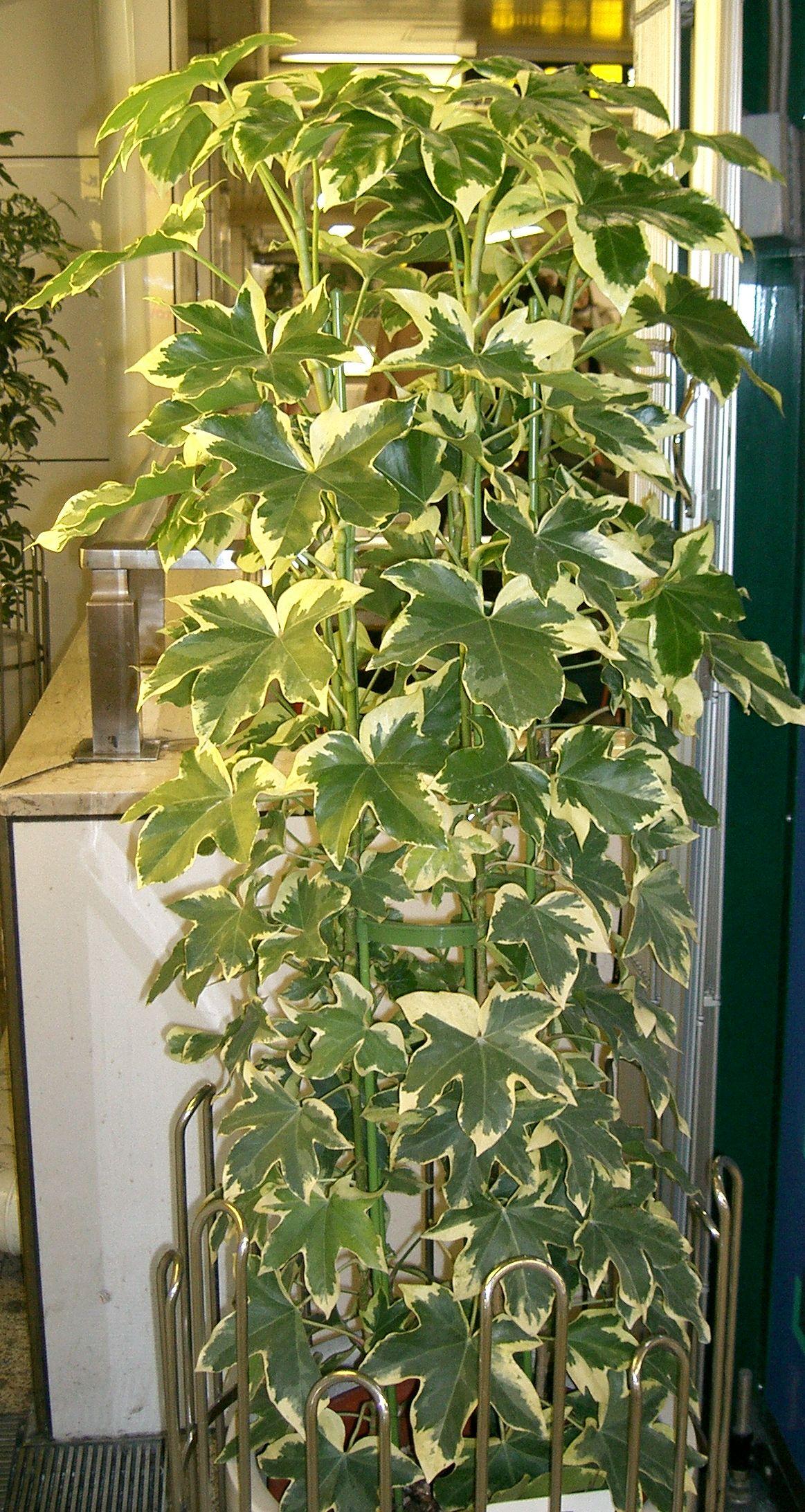 Комнатный цветок в виде дерева лист зелено-белый фото