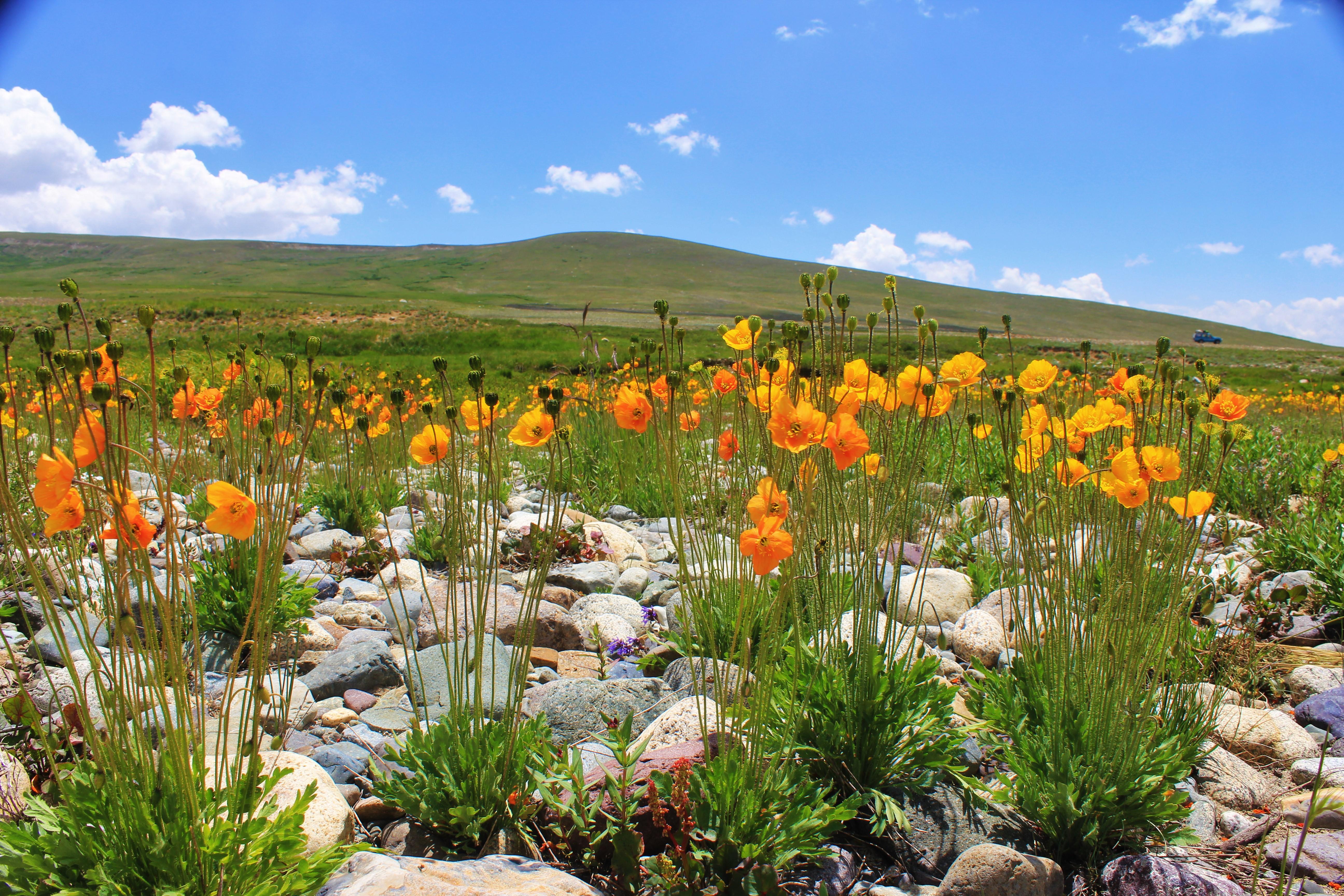 Fileyellow Orange Flowers At Deosai National Park Pakistang