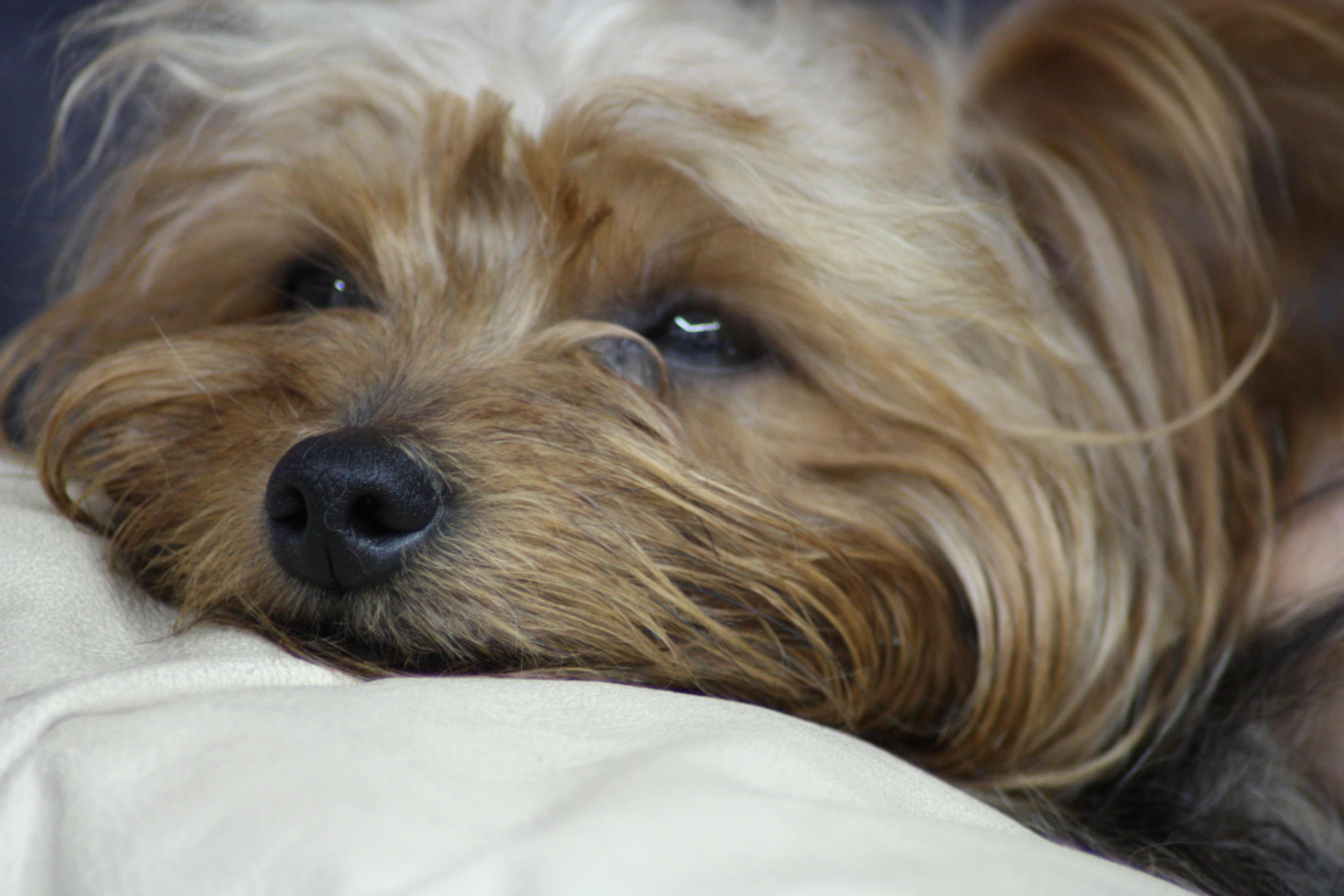 File:Yorkshire terrier...