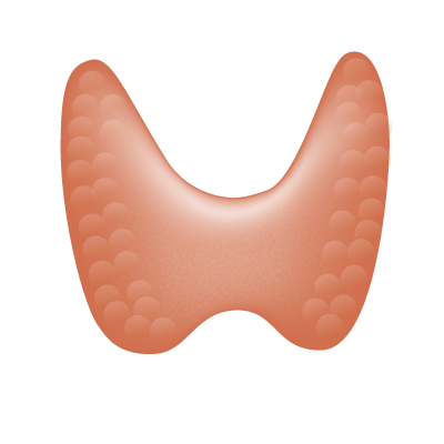 File:201405 thyroid gland.png