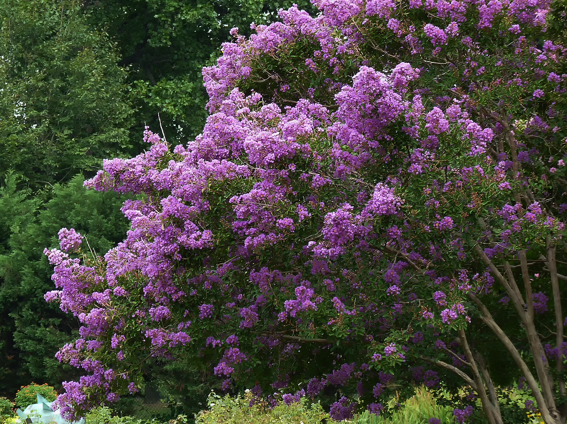 Filea purple flowering bushg wikimedia commons filea purple flowering bushg mightylinksfo