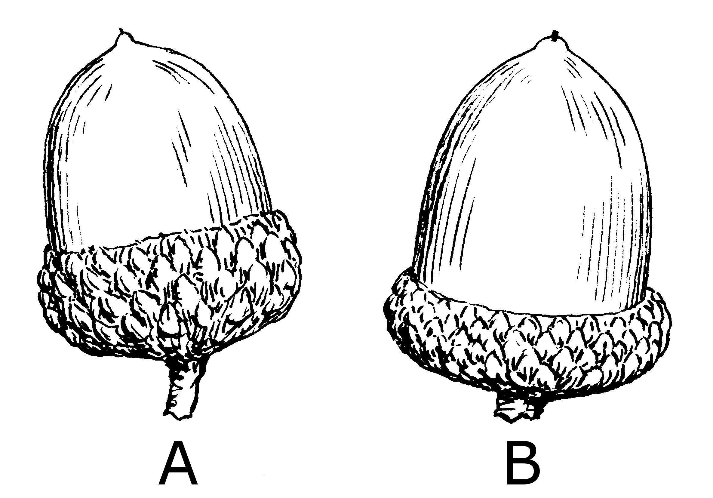 Uncategorized Drawings Of Acorns fileacorn psf png wikimedia commons png