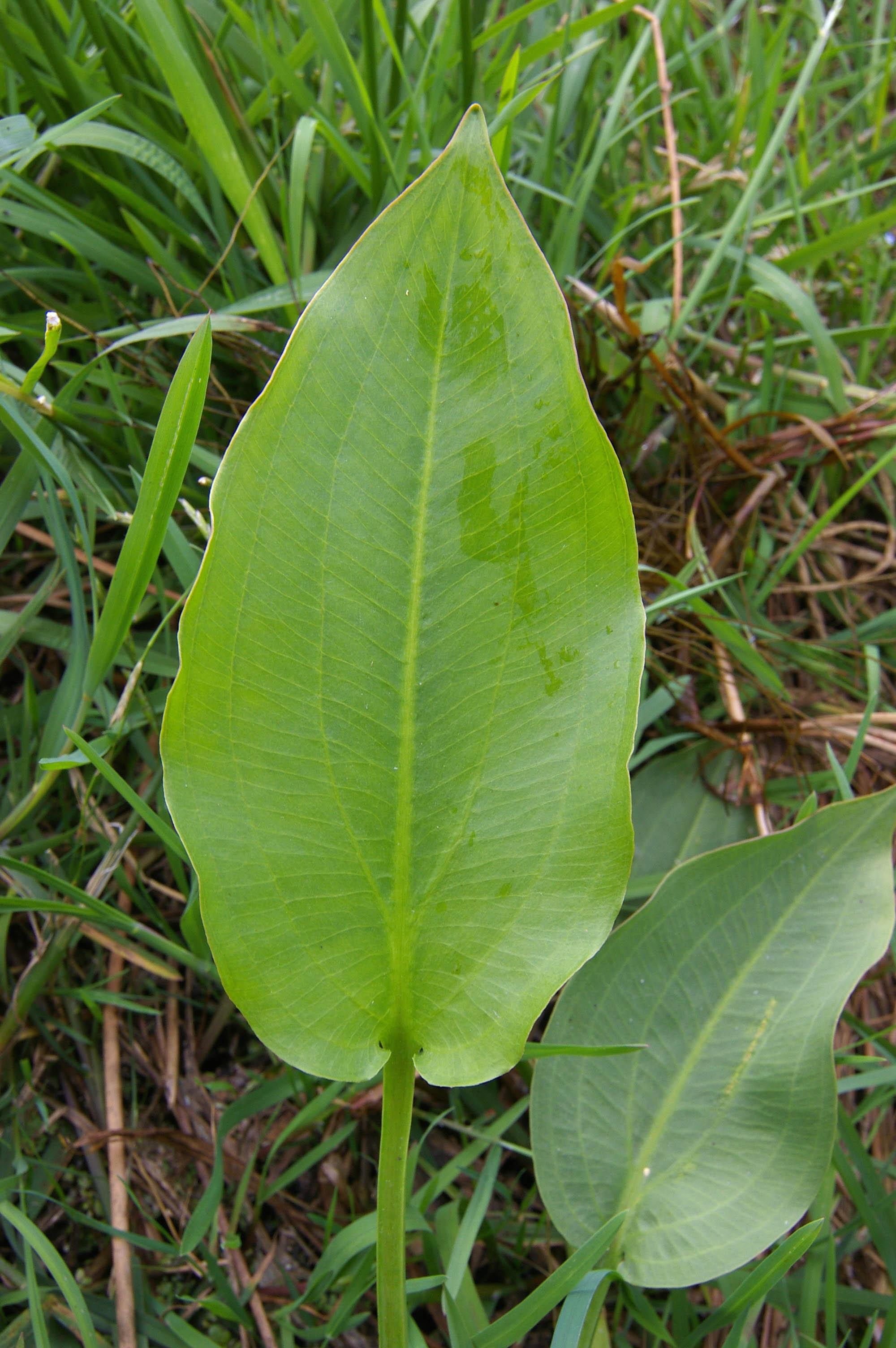 Froschlöffel Alisma plantago-aquatica