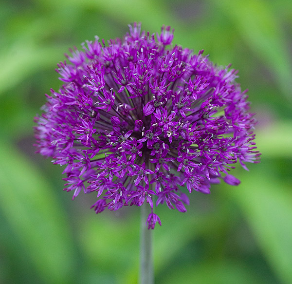 allium 39 purple sensation 39 jpg. Black Bedroom Furniture Sets. Home Design Ideas