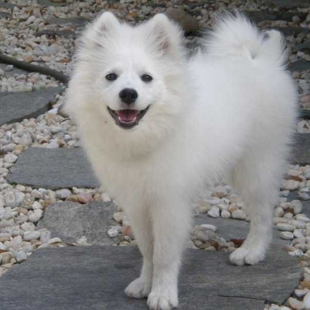 File:American Eskimo Dog 2.jpg - Wikimedia Commons