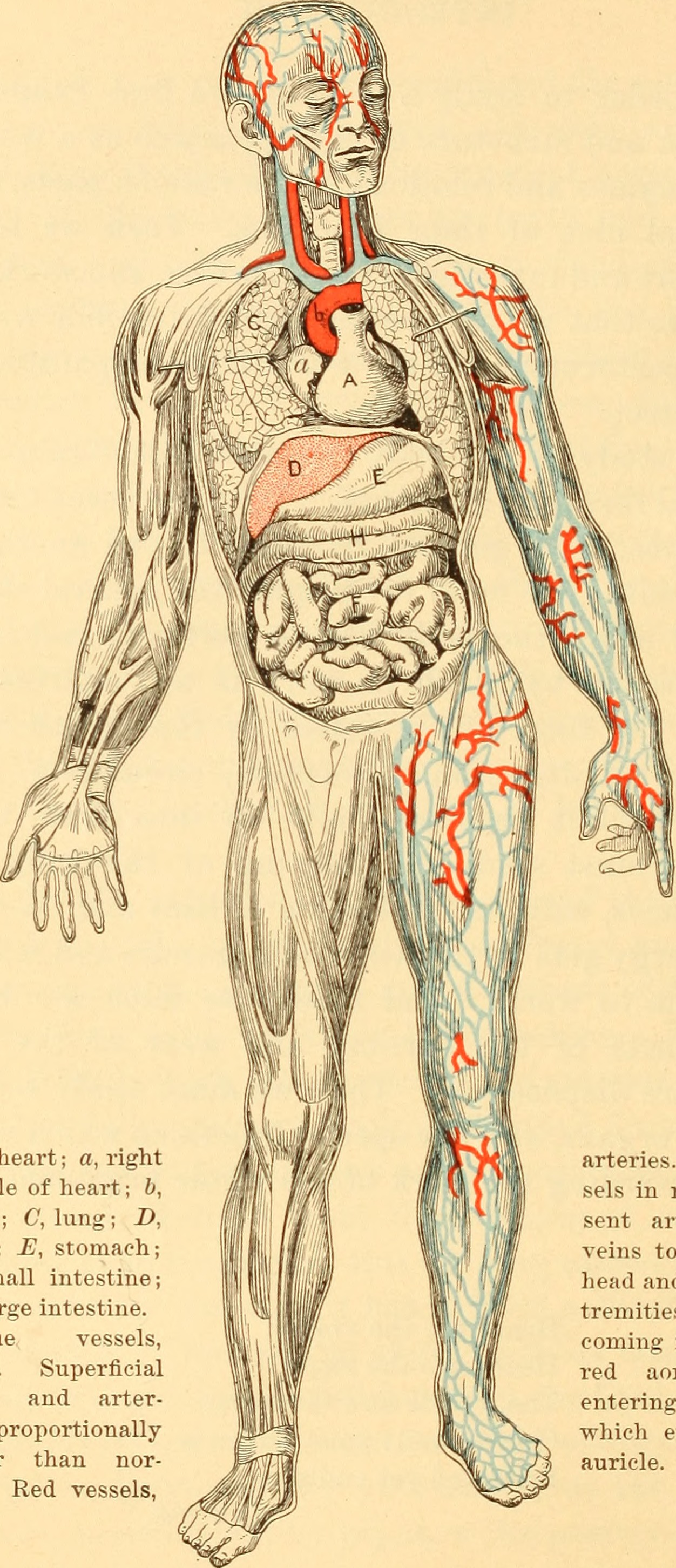 File:Anatomy, physiology and hygiene for high schools (1900 ...