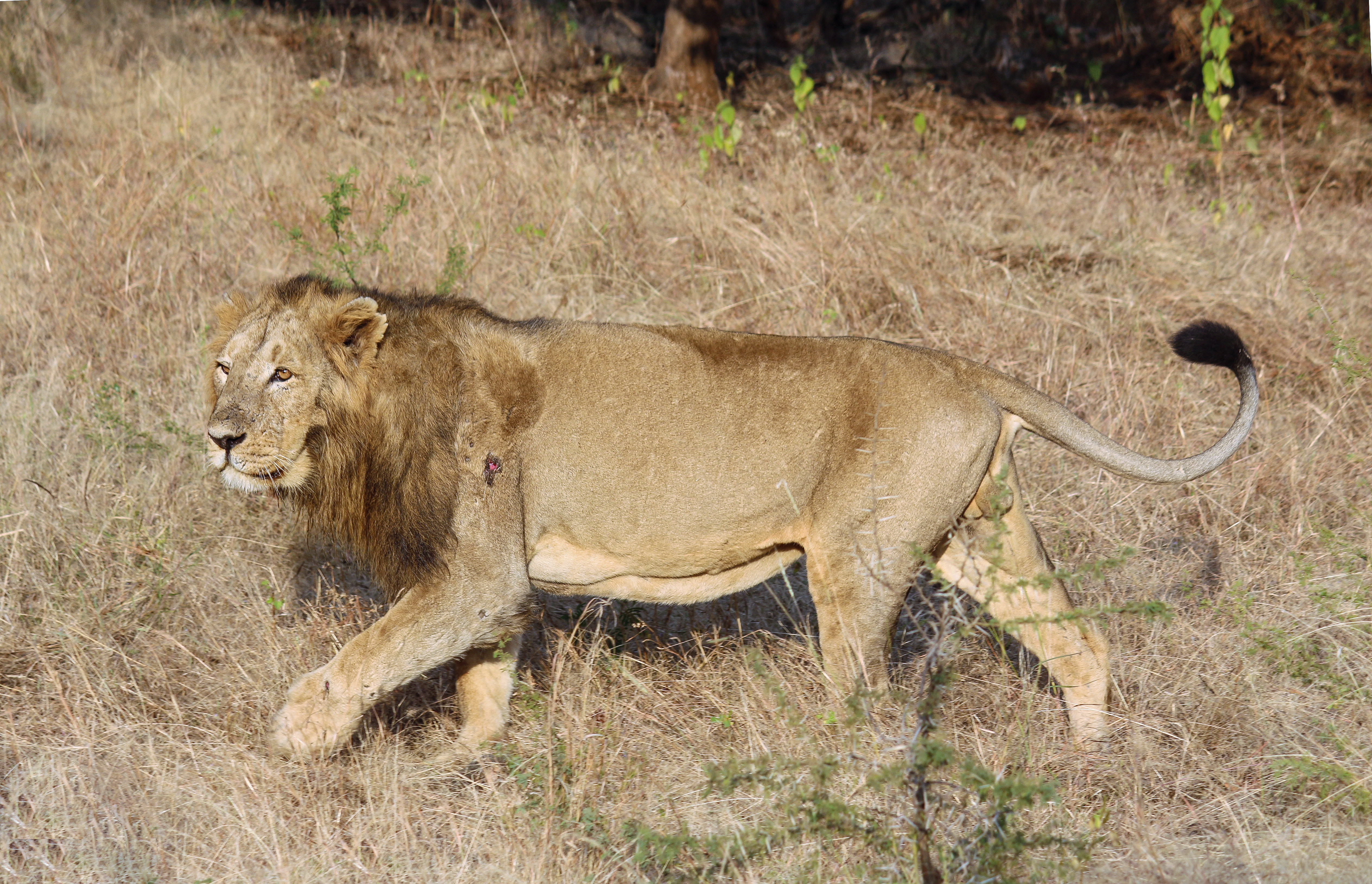 File:Asiatic lion 03.jpg - Wikimedia Commons