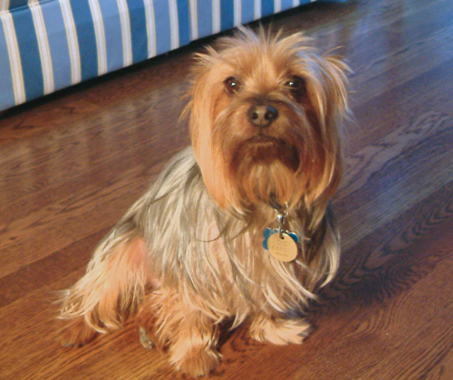 Do Cairn Terriers Make Good Therapy Dogs