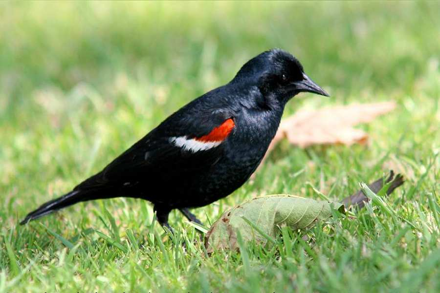 Black Bird With Orange Shoulders 1