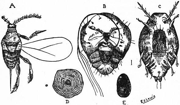 Diaspidiotus perniciosus - Wikipedia