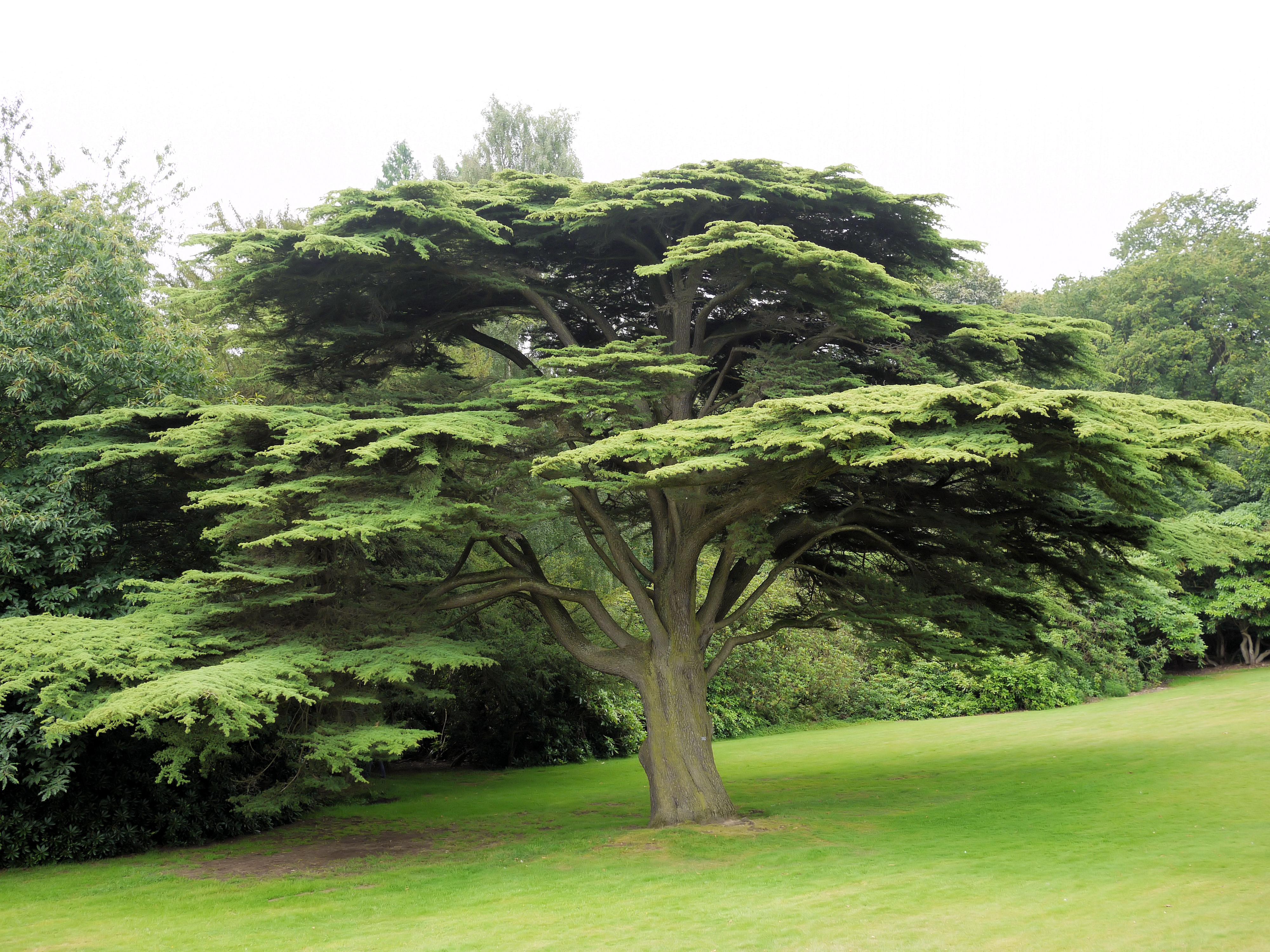 Floriography - Tree & Flower Symbolism  Cedar_Tree_%287853418286%29