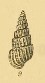<i>Turbonilla jeffreysii</i> species of mollusc