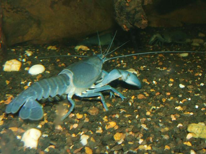 Common yabby - Wikipedia