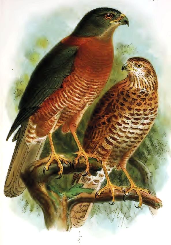 christmas goshawk wikipedia