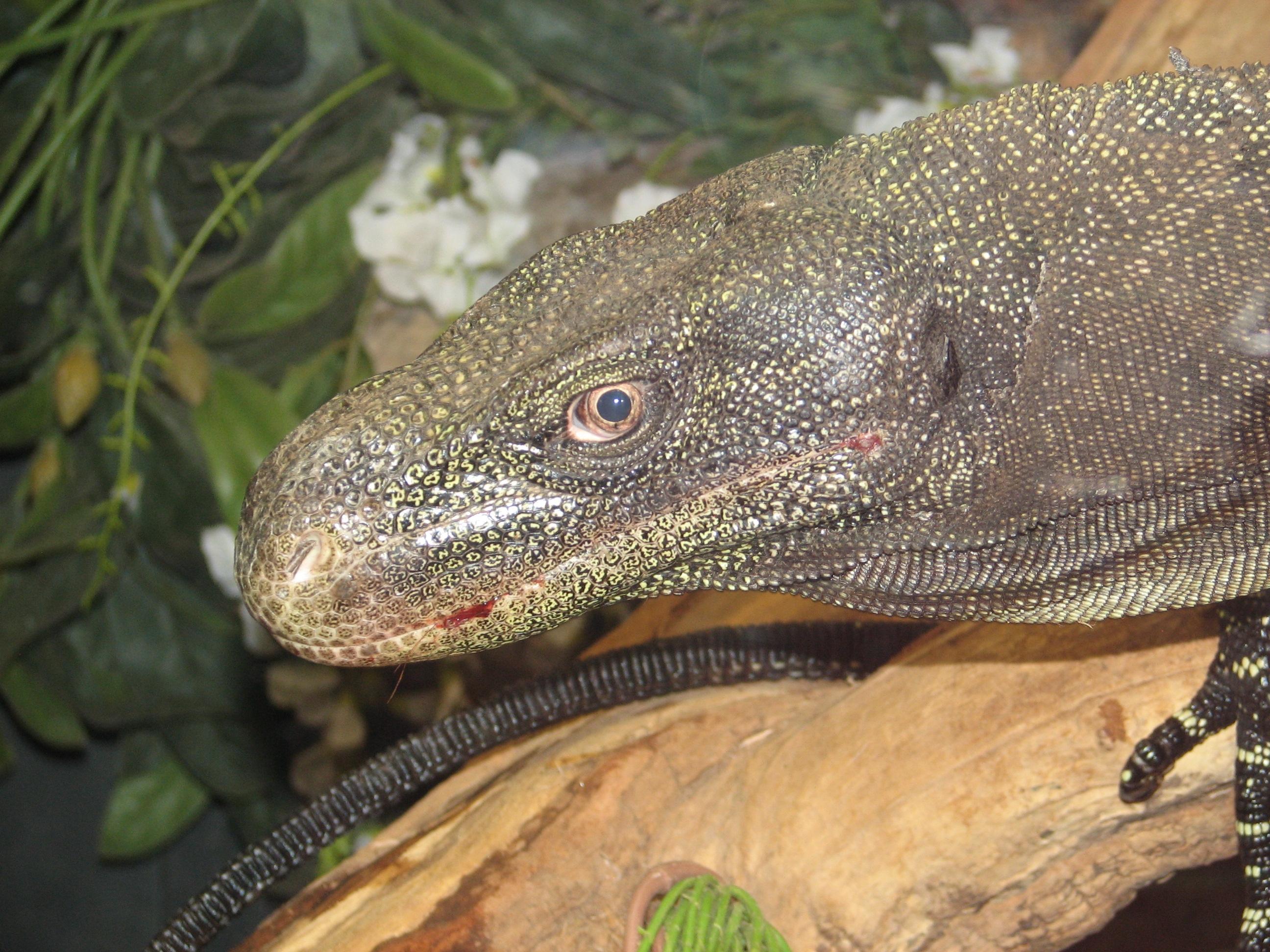 Monitor lizard Wiki Everipedia