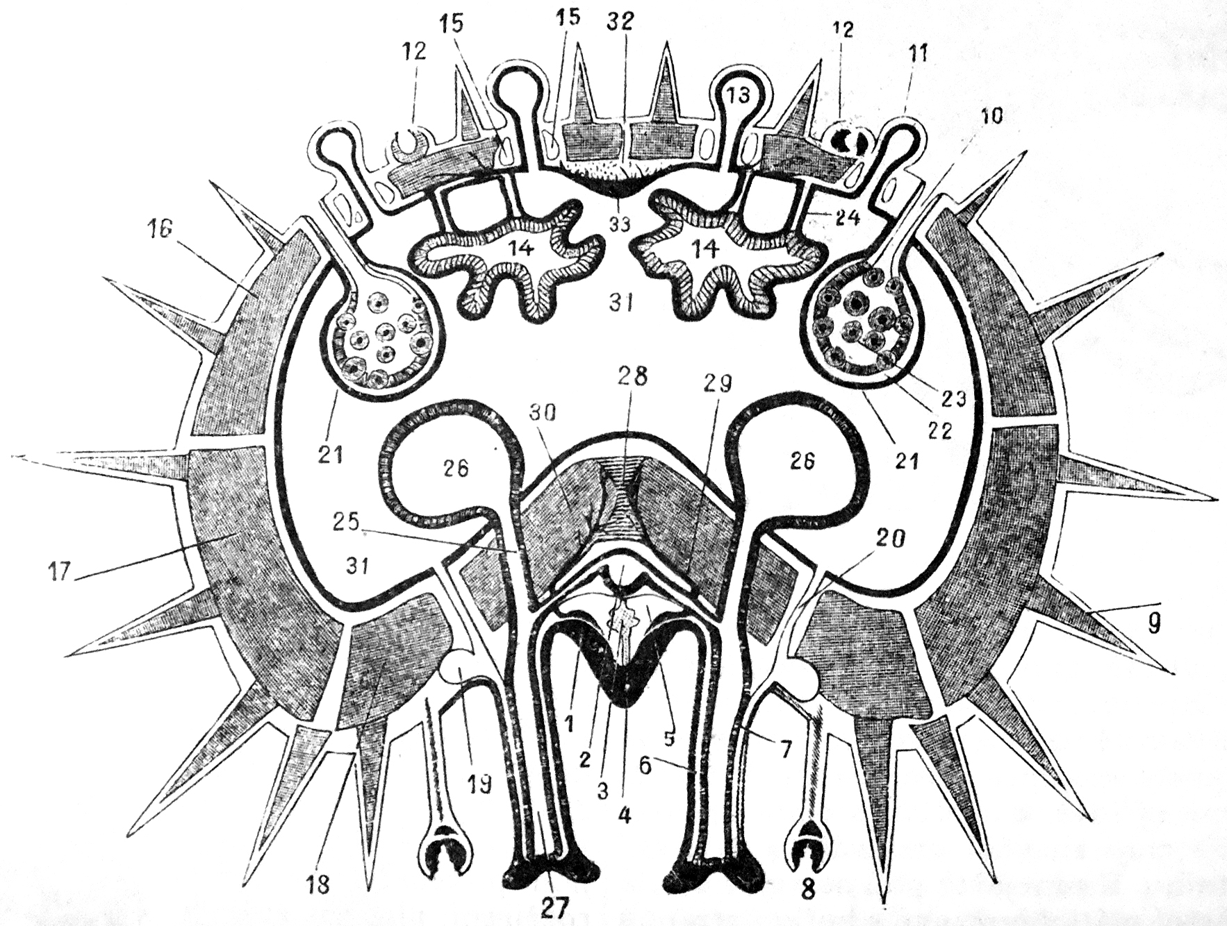 File:Cross section of a starfish arm.jpg - Wikimedia Commons