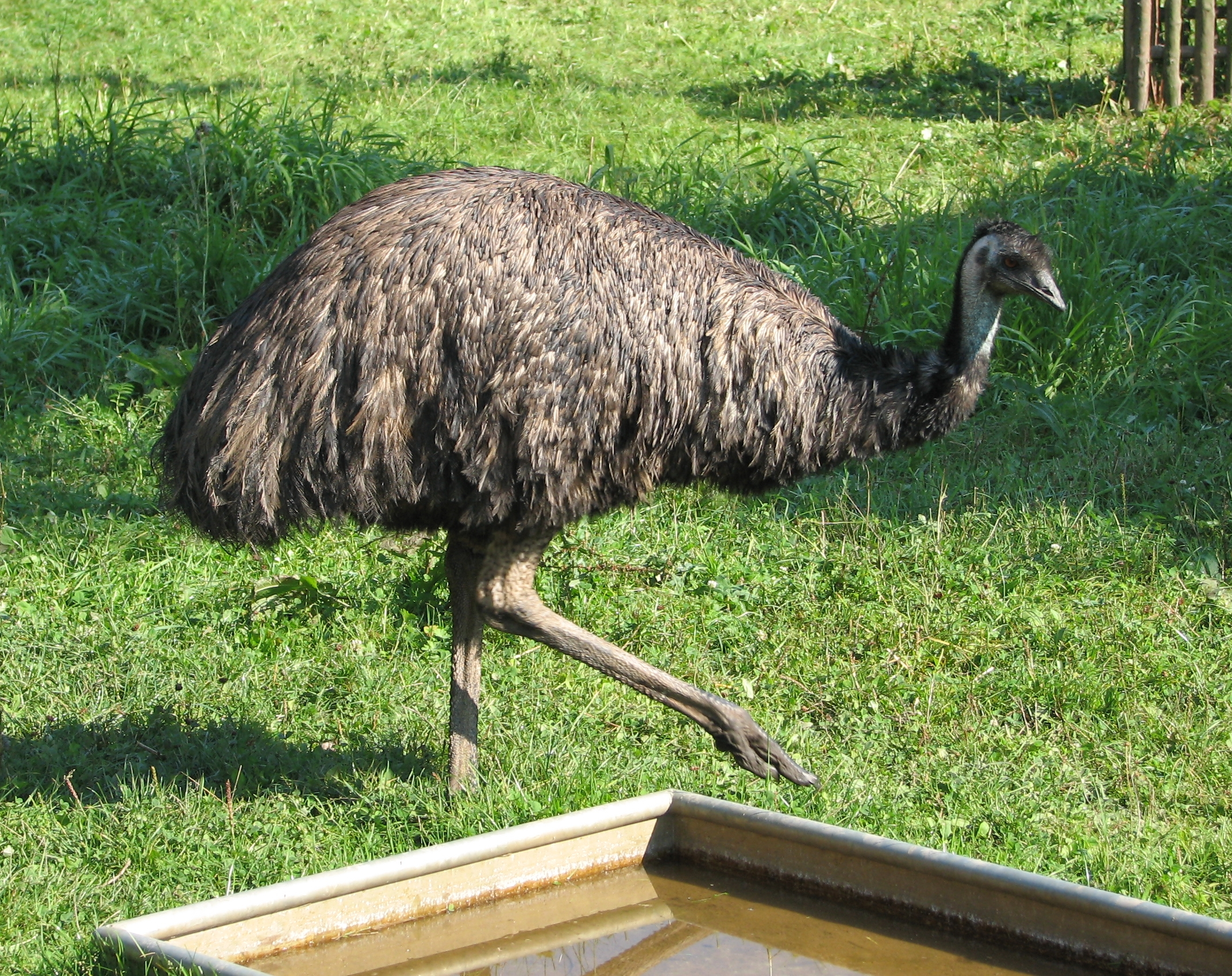 File:Emu-ostrich.jpg - Wikimedia Commons