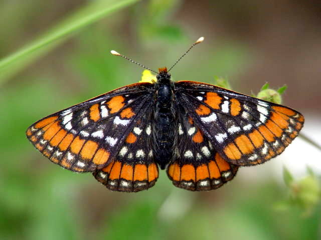 Euphydryas gillettii - Wikipedia