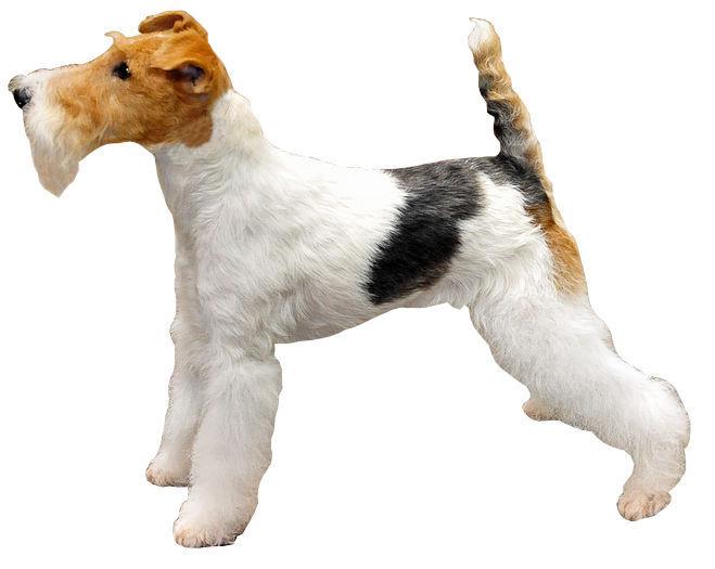 File:Fox Terrier A Poil Dur.jpg - Wikimedia Commons