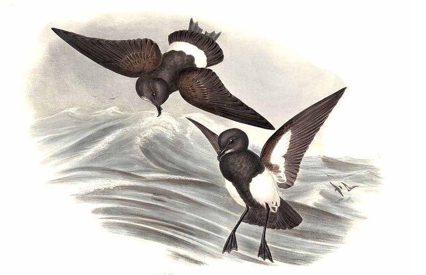 Depiction of Fregetta tropica