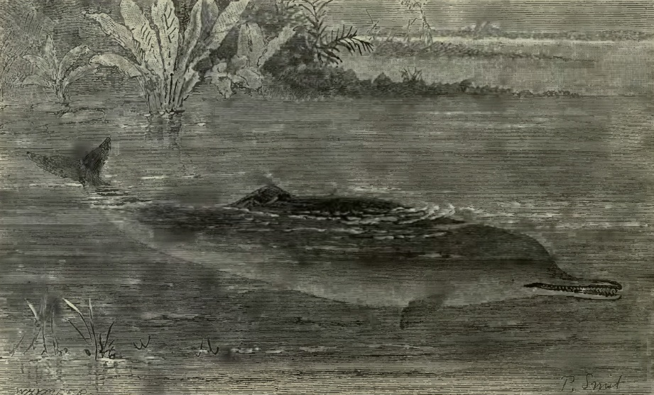 The Gangetic dolphin in a sketch by Whymper and P. Smit, 1894.