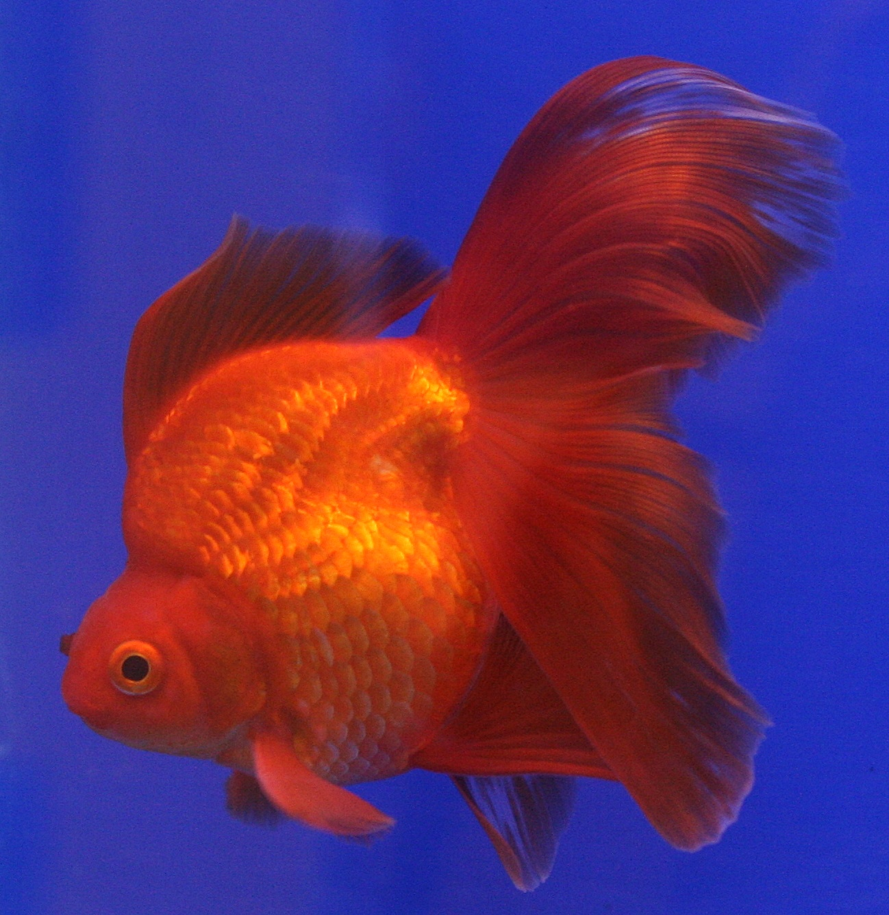 Gold Fishes Photos Creationist Split From...