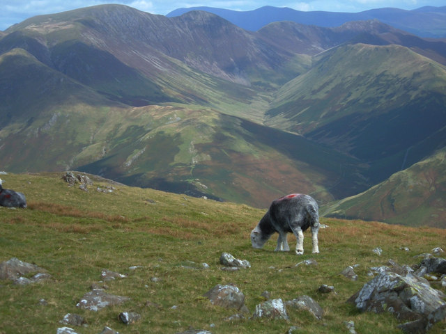 Grazing on High Stile Ridge - geograph.org.uk - 243499.jpg
